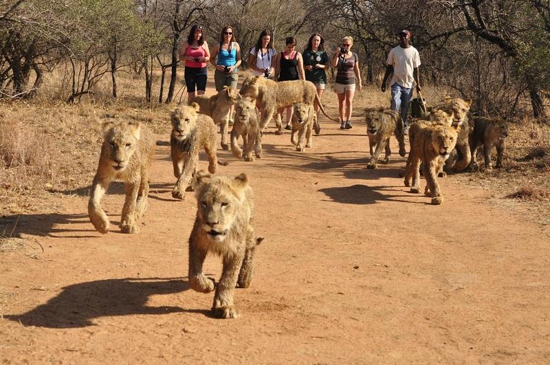 Passeio com os leões em Joanesburgo África do Sul