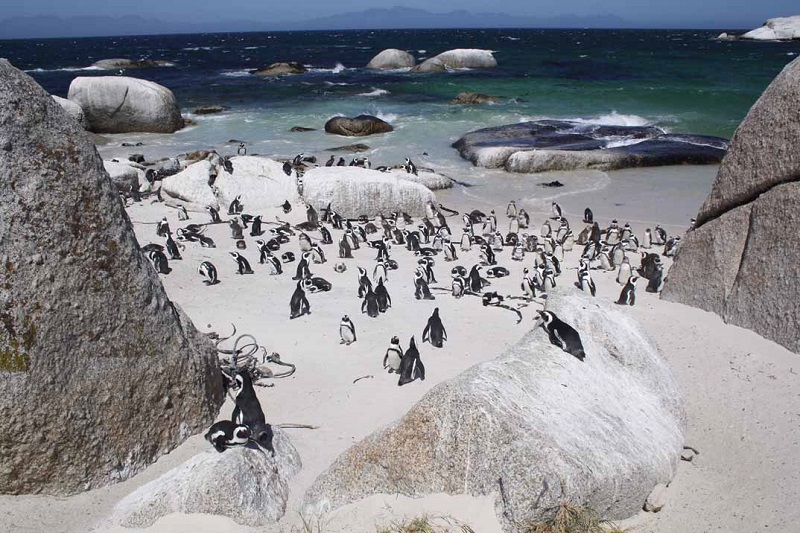 Pinguins na Península do Cabo