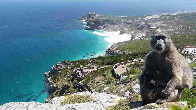 Babuíno no Cabo da Boa Esperança na Cidade do Cabo