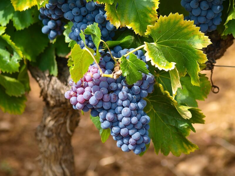 Uva em vinícola de Stellenbosch