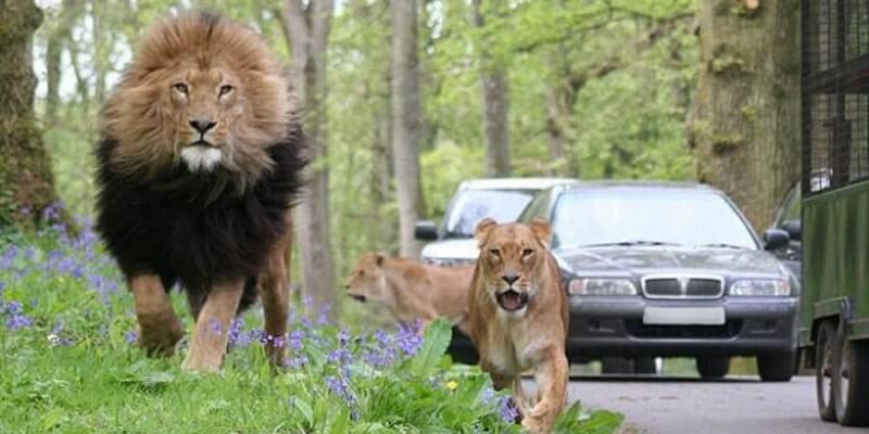 Carro no Lion Park em Joanesburgo