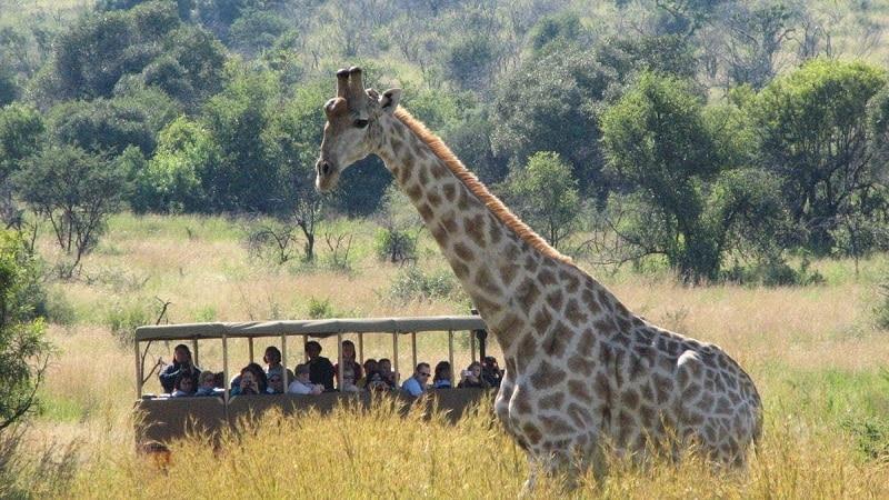Girafa no Pilanesberg National Park