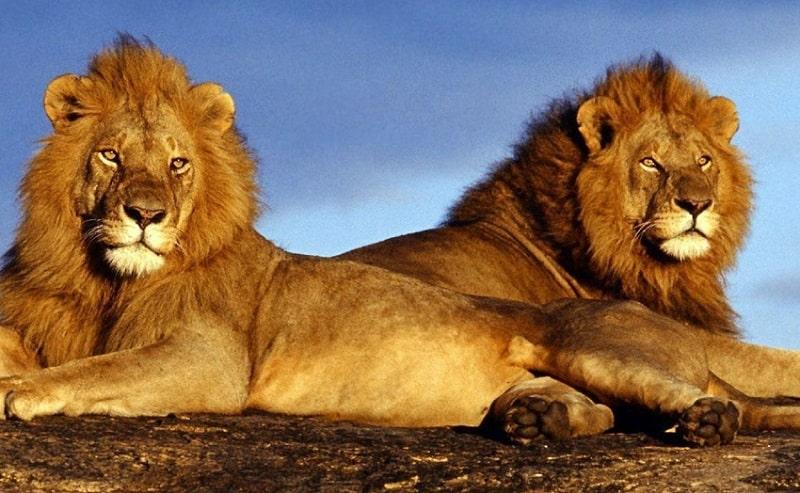 Leões no Pilanesberg National Park - Joanesburgo