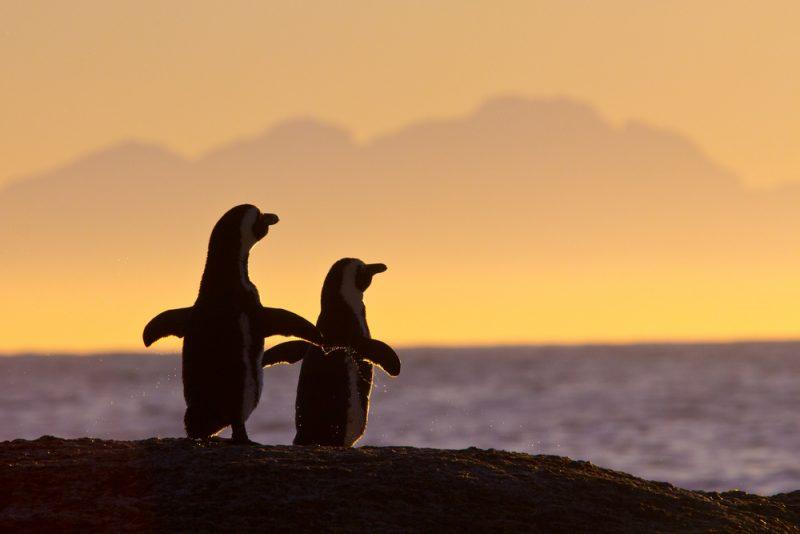 Pinguins na África do Sul