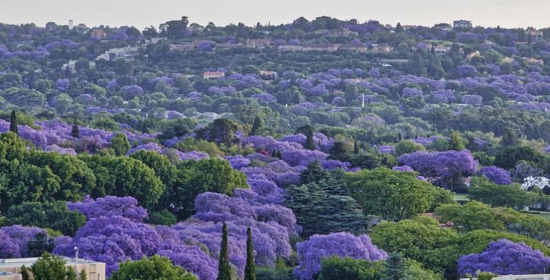 Primavera em Joanesburgo