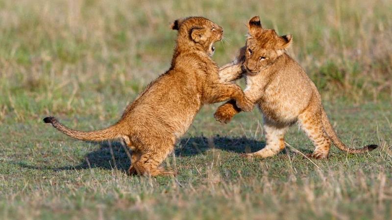 Filhotes de leão na Reserva Ukutula
