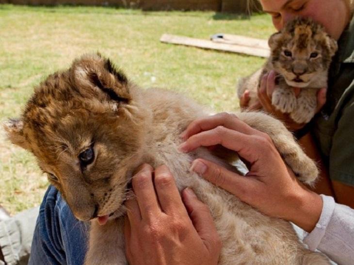 Foto com os leões nos safáris da África do Sul